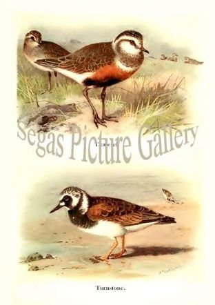 Dotterel & Turnstone